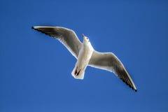 Portsmouth seagull Fotografering för Bildbyråer