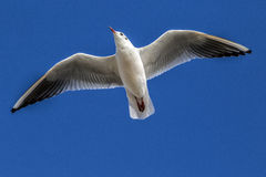 Portsmouth seagull Royalty Free Stock Image