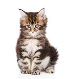 Porttrait small maine coon kitten. isolated on white background Stock Photography