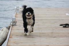 Portugais noir et blanc Waterdog fonctionnant en bas du dock ensuite Images libres de droits