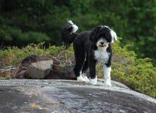 Portugais noir et blanc Waterdog me regardant à partir du dessus o Images stock