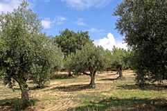 Portugal, Alentejo: Olive tree Stock Images