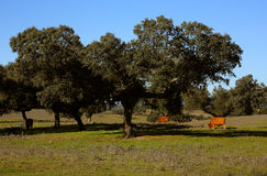 Portugal, Alentejo Region, Evora cork oak tree. Quercus suber. Portugal, Alentejo Region, Evora. Cork oak trees - Quercus suber, with cattle grazing in the Stock Images