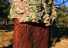 Portugal, Alentejo Region. Newly harvested cork oak tree. Quercus suber. Portugal, Alentejo Region. Newly harvested cork oak tree. Detail showing the bark which royalty free stock images