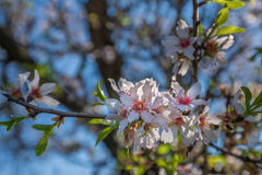 Portugal, Algarve (Europe) - Almond flower blossom in spring Stock Images