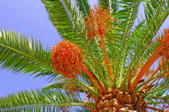 Portugal, Algarve, Lagos: palm tree Royalty Free Stock Photography
