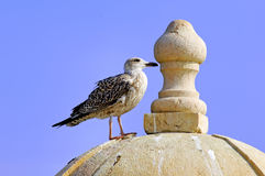 Portugal, Algarve, Lagos: Seagull Royalty Free Stock Images