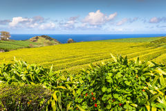 Portugal Azores Islands Sao Miguel tea plantation Royalty Free Stock Photography