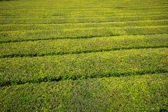 Portugal Azores Islands Sao Miguel tea plantation Royalty Free Stock Photos