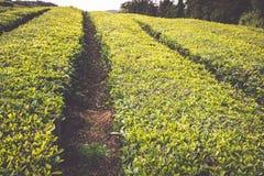 Portugal Azores Islands Sao Miguel tea plantation Stock Image