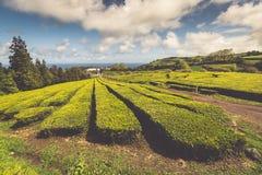Portugal Azores Islands Sao Miguel tea plantation Stock Photography