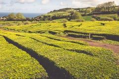 Portugal Azores Islands Sao Miguel tea plantation Royalty Free Stock Image