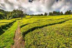 Portugal Azores Islands Sao Miguel tea plantation Stock Photo