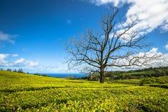 Portugal Azores Islands Sao Miguel tea plantation Royalty Free Stock Photo