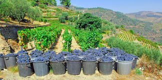 Portugal, Douro valley; harvested Grape. Portugal, Douro valley, Pinhao: just harvested Grape, blue sky green vegetation and oporto grappes stock images
