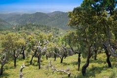 portugal för korkoak trees Arkivbilder