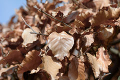 Portugal Laurel leaves turned brown Royalty Free Stock Image