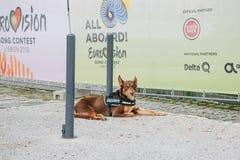 Portugal, Lissabon am 29. April 2018: Sicherheitshund oder -Blindenhund sitzt auf Straße Lizenzfreie Stockfotografie