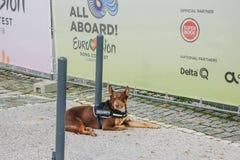 Portugal, Lissabon am 29. April 2018: Sicherheitshund oder -Blindenhund sitzt auf Straße Lizenzfreies Stockbild