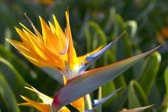Portugal Paradise  Flower. Paradise  flower Royalty Free Stock Photography
