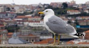 portugal Porto stad De zeemeeuw op de achtergrond van aeria Royalty-vrije Stock Afbeelding