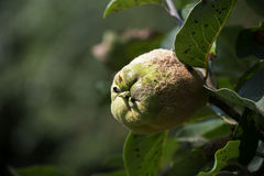 Portugal quince, also called pear quince (Cydonia oblonga) in a Royalty Free Stock Images