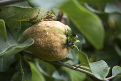 Portugal quince or pear quince in the tree Stock Photography