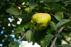 Portugal quince or pear quince in the tree (Cydonia oblonga) Royalty Free Stock Photography