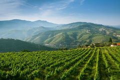 Portugal. Top view of the vineyards are on a hills. Douro Valley, Portugal. Top view of the vineyards are on a hills Royalty Free Stock Image