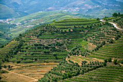 Portugal. Top view of the vineyards are on a hills. Royalty Free Stock Image
