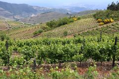 Portugal vineyard landscape. Portugal wine region - vineyards on hills along Douro river valley. Alto Douro DOC royalty free stock photography