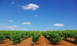 portugal vingård arkivbilder