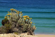 Portugal. Wild flowers on Atlantic cliff. Royalty Free Stock Photography