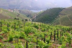 Portugal wine region. Vineyards on hills along Douro river valley. Alto Douro DOC royalty free stock image