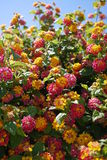 Portugal yellow and pink flower bush plant Stock Photo