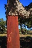 Portugalia, Alentejo region Niedawno zbierający korkowy dębowy drzewo Quercus suber Zdjęcie Stock