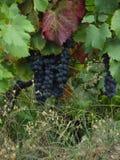 Portugalia Douro winniców Dolinni winogrona Zdjęcie Stock