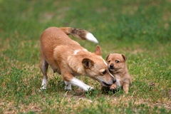 Portugalian Podengo puppy. Two Portugalian Podengos - puppy and older is playing Royalty Free Stock Photography