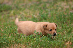 Portugalian Podengo puppy. Is playing on the grass Royalty Free Stock Photography
