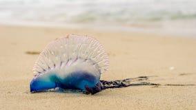 Portugalska łódź, Jellyfish Zdjęcie Stock