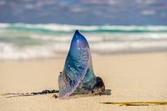 Portugalska łódź, Jellyfish Obraz Stock