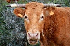 Portugalska krowa Fotografia Royalty Free