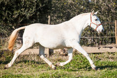 Portugiese Lusitano-Pferd Lizenzfreies Stockbild