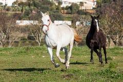 Portugiese Lusitano-Pferd Lizenzfreies Stockfoto
