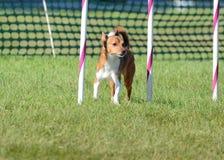 Portugiese Podengo Pequeno an einem Hundebeweglichkeits-Versuch stockfotos