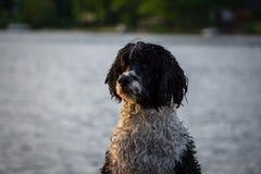Portugiesischer Wasser-Hund lizenzfreies stockbild