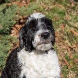 Portugiesischer Wasser-Hund, der im Sonnenlicht strahlt Lizenzfreie Stockfotografie