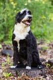 Portugiesischer Wasser-Hund, der im Wald auf einem Stumpf aufwirft Lizenzfreie Stockfotografie