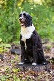 Portugiesischer Wasser-Hund, der im Wald auf einem Stumpf aufwirft Stockfoto