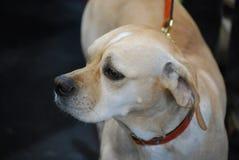 Portugiesischer Zeiger-Hund auf einer Leine stockbild